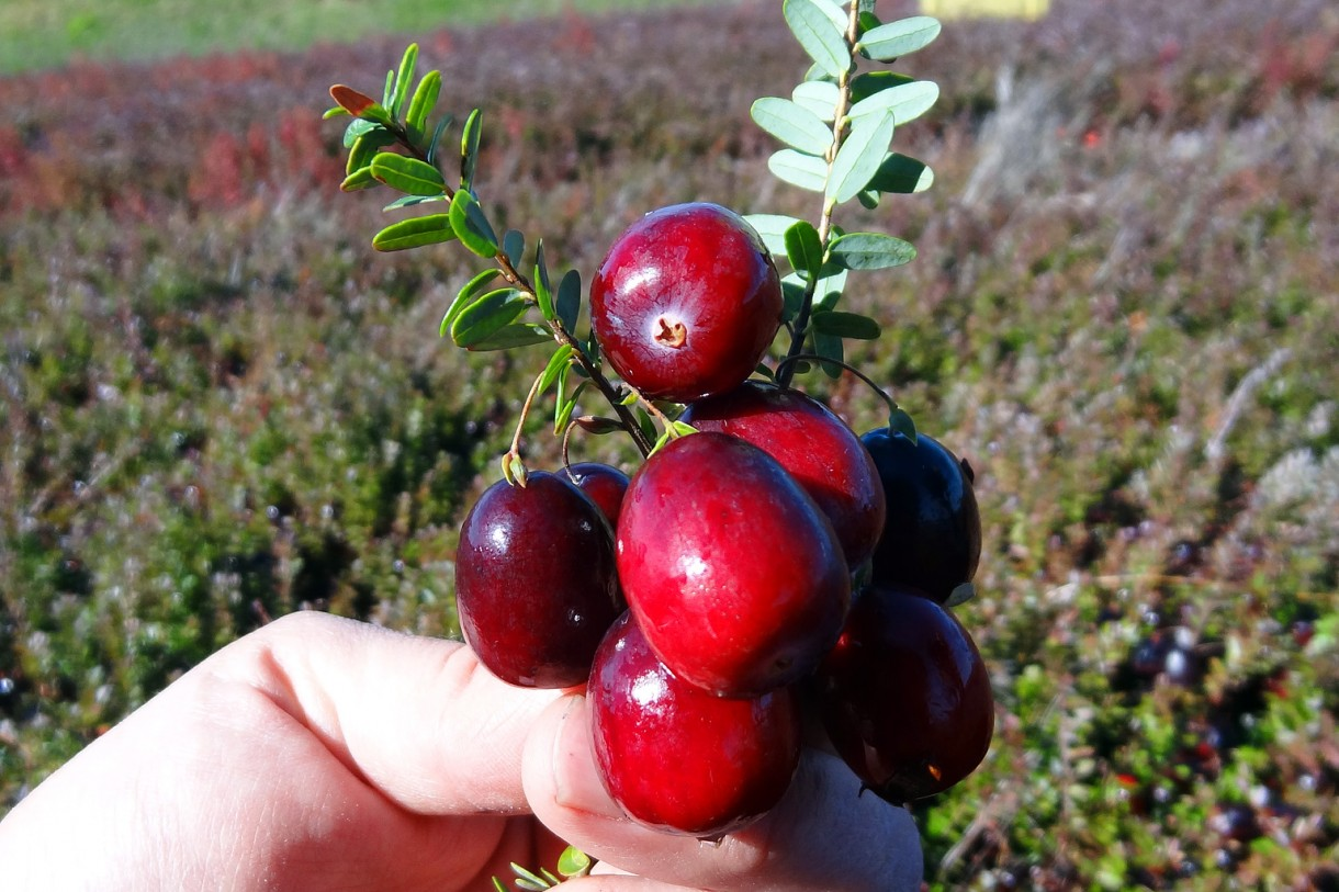 How to Buy Cranberry Vines